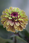 Zinnia elegans 'Queen Red Lime' - elegant zinnia
