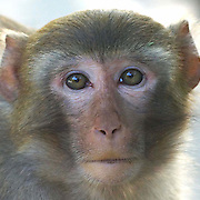 Long-tailed macaque (Macaca fascicularis), Shing Mun, Hong Kong