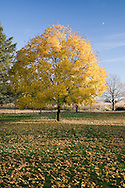 A colorful tree in the midwest in November.