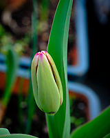 Tulip about to Bloom. Image taken with a Fuji X-H1 camera and 80 mm f/2.8 macro lens