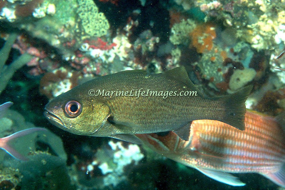 Reef Croaker inhabit reefs, hiding in recesses, caves and under ledge overhangs during day in So. Florida and Caribbean; picture taken Key Largo, FL