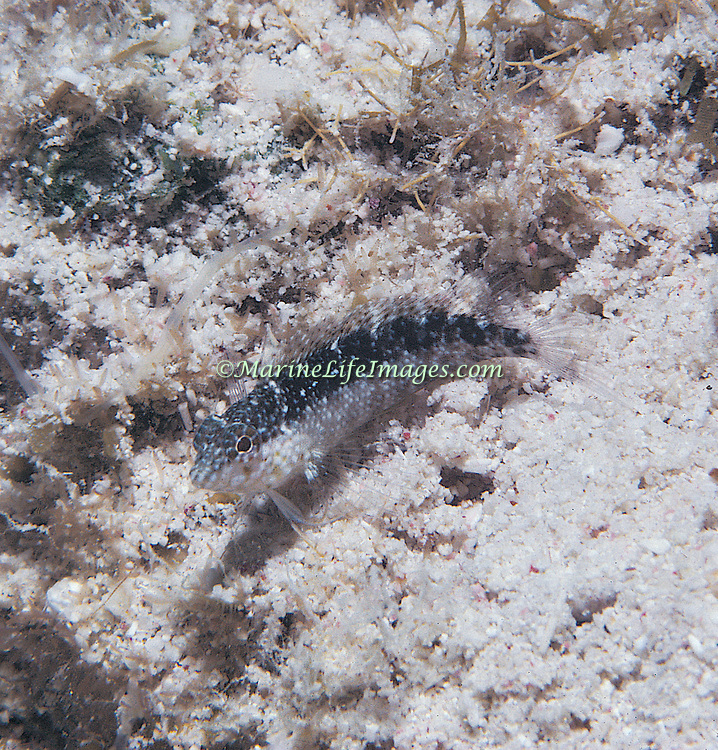 Rosy Blenny inhabit reef tops and adjacent areas of sand and rubble in Tropical West Atlantic; picture taken Grand Cayman.