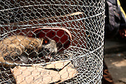 Caged mongooses for sale at Jakarta's largest bird market.