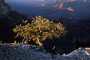 Singleleaf pinyon pine (Pinus monophylla) on the south rim of the Grand Canyon, Grand Canyon National Park, Arizona