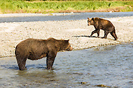 Large brown bear (Ursus arctos) intimidates smaller bear for dominance to fish for salmon along Geographic Creek at Geographic Harbor in Katmai National Park in Southwestern Alaska. Summer. Morning.
