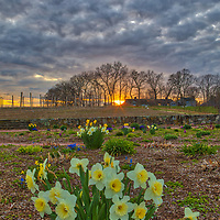 Massachusetts landscape sunset photography of the beautiful Belkin Family Lookout Farm with a bunch of daffodil flowers in Natick, MA.<br />