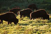 The buffalo herd grazes peacefully in Golden Gate Park.
