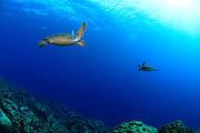 Green sea turtle (Chelonia mydas) Atlantic, Bonaire, Leeward Antilles, Caribbean region, Netherlands Antilles | Zwei Grüne Meeresschildkröten (Chelonia mydas) treffen sich im Freiwasser.