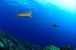 Green sea turtle (Chelonia mydas) Atlantic, Bonaire, Leeward Antilles, Caribbean region, Netherlands Antilles   Zwei Grüne Meeresschildkröten (Chelonia mydas) treffen sich im Freiwasser.
