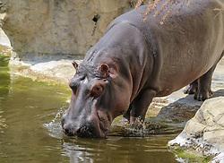 THEMENBILD - Das Flusspferd, auch Nilpferd, Großflusspferd oder Hippopotamus genannt, ist ein großes, pflanzenfressendes Säugetier. Es lebt in Gewässernähe im mittleren und südlichen Afrika, aufgenommen am 19.05.2019 im Tiergarten Schönbrunn in Wien, Österreich // The hippo, also called hippopotamus, large hippo or hippopotamus, is a large, herbivorous mammal. It lives near the water in central and southern Africa, pictured on 2019/05/19 at the Tiergarten Schönbrunn at Vienna, Austria. EXPA Pictures © 2019, PhotoCredit: EXPA/ Lukas Huter