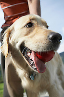golden retriever (close-up) holding ball in mouth with man (mid section) outdoors