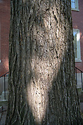 American Elm*, college green, Mapp Athens, summer, Tree Tour