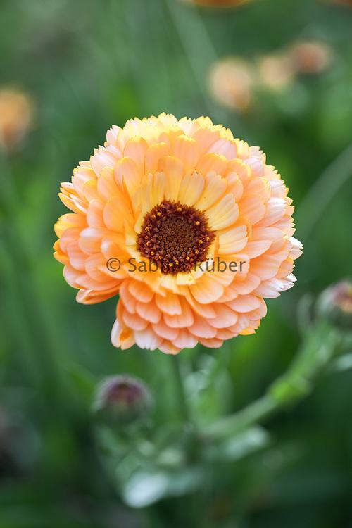 Calendula officinalis 'Pink Surprise' - pot marigold