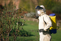 Council Parks Dept nurseryman spraying pesticide on a rose bush ....