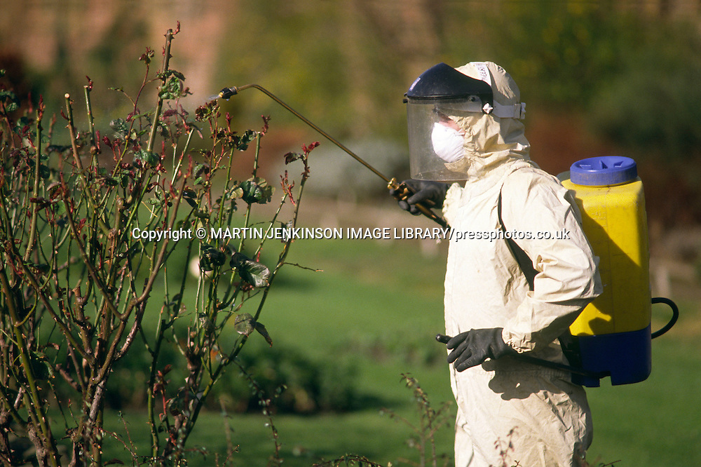 Council Parks Dept nurseryman spraying pesticide on a rose bush ....