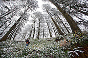 A boy stands in the dense pine forest of jakhu, where the trees are covered with snow during the seasons first snowfall in Shimla.