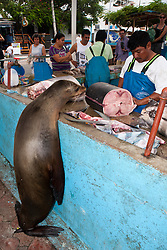 A Galapagos Sea Lion (Zalphus wollebacki) watches a man cut freshly caught fish for sale at the fish market in Puerto Ayora, Santa Cruz Island, Galapagos, Ecuador