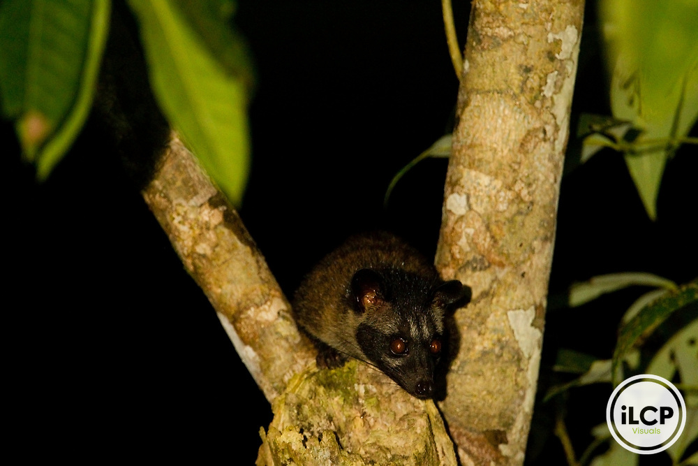 Common Palm Civet (Paradoxurus hermaphroditus) in tree at night, Danum Valley Conservation Area, Sabah, Borneo, Malaysia