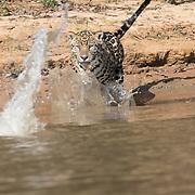 Jaguar Chases Yacare Caiman