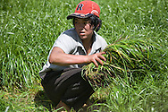 Rice harvesting, Thimphu Valley
