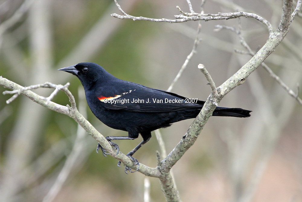 Red-winged Blackbird, Agelaius phoeniceus, male, perched in tree ..