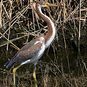 A Tricolored Heron, Egretta tricolor, wading through a saltmarsh. Richard DeKorte Park, Lyndhurst, New Jersey, USA