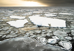 Polar bear (Ursus maritimus) on drifting ice at 82 degree North in September, Svalbard, Norway