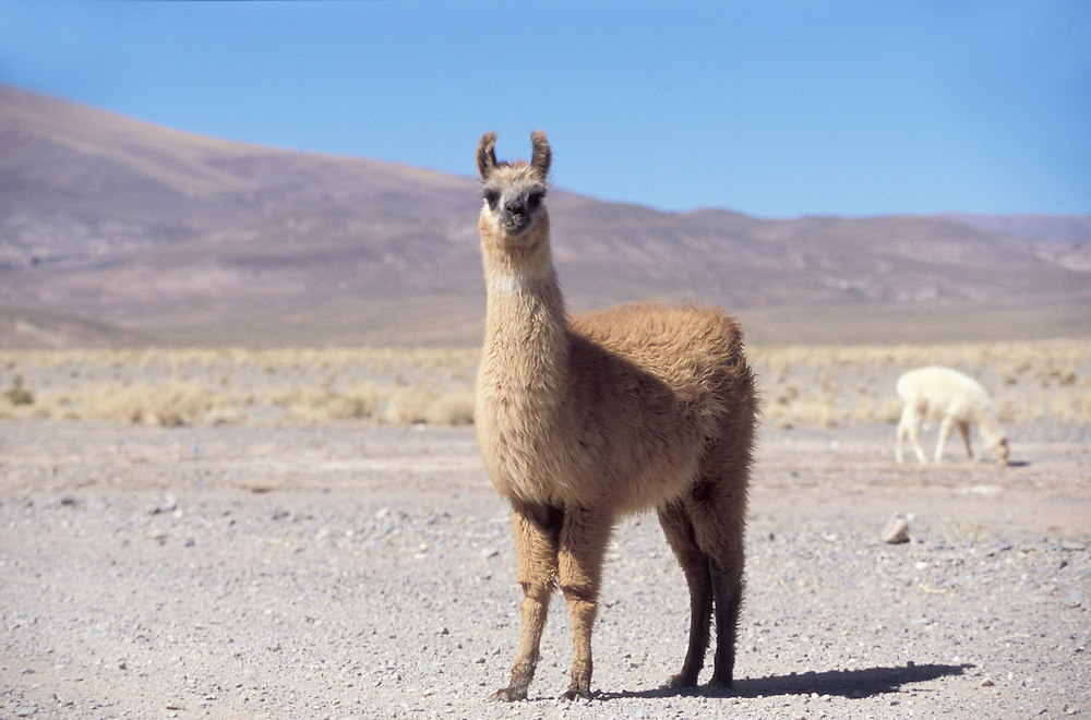 Lamas in a  beautiful scenery Atacama desert, Argentina,
