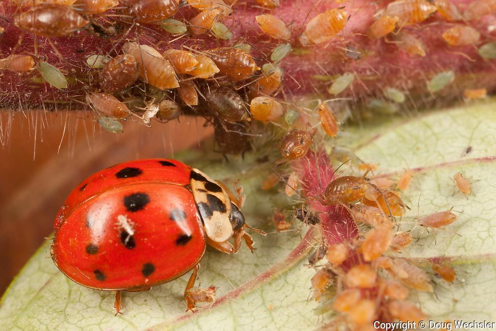 Multicolored Asian Lady Bug; eating Aphids; Carolinaia rhois; on Staghorn Sumac, Rhus typhina; PA, Wayne Co.