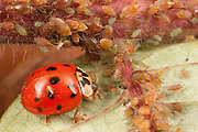 Multicolored Asian Lady Bug; eating Aphids; Carolinaia rhois; on Staghorn Sumac, Rhus typhina; PA, Wayne Co.