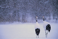 Red-crowned Crane pair in  a snowstorm, Hokkaido, Japan.Endangered Species (IUCN Red List: EN)