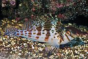 Pixy Hawkfish, Cirrhitichthys oxycephalus.