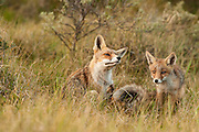 Red Fox (Vulpus vulpus) adult and cub sitting in gras