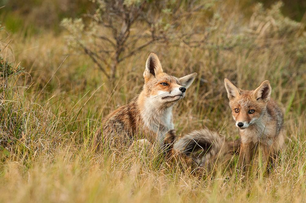 Red Fox (Vulpus vulpus) adult and cub sitting in gras