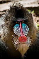 Mandrill with intense expression at Oakland Zoo, in Oakland, CA.  Copyright 2008 Reid McNally.