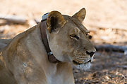 A lioness, Panthera leo, with a tracking device on its neck, Chobe National Park, Botswana.