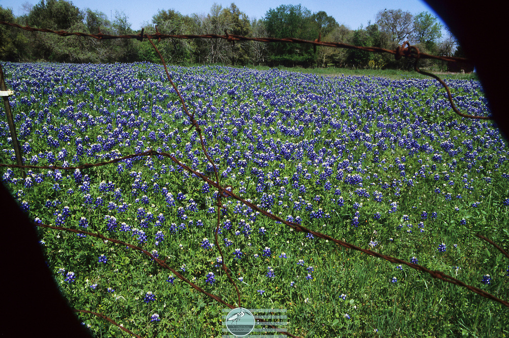 Wild flowers in Texas, USA