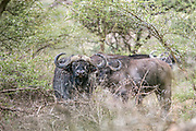 Bull Cape buffalo in East African Habitat