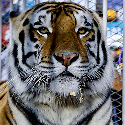 November 3, 2012; Baton Rouge, LA, USA; LSU Tigers mascot Mike VI before a game against the Alabama Crimson Tide at Tiger Stadium. Alabama defeated LSU 21-17. Mandatory Credit: Derick E. Hingle-US PRESSWIRE