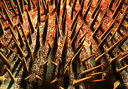 Close up of thorns of Crown of thorns starfish {Acanthaster planci} Sulawesi, Indonesia