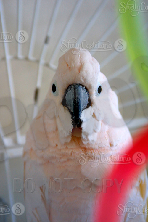 Apr 03, 2002; Lake Elsinore, CA, USA; Umbrella Cockatoo named SIREN one of the few birds @ Tiger Creek, a non-profit organization dedicated to the conservation of endangered wildcats. <br />Mandatory Credit: Photo by Shelly Castellano/ZUMA Press.<br />(&copy;) Copyright 2002 by Shelly Castellano