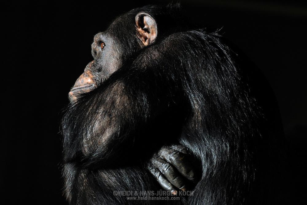 Common chimpanzee [Pan troglodytes] ..Chimpanzee sitting with crossed arms in a relaxed posture.....Gemeiner Schimpanse (Pan troglodytes)..Schimpanse sitzt mit verschränkten Armen in entspannter Körperhaltung.  ..