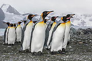 Inquisitive King Penguins (Aptenodytes patagonicus), Royal Bay, South Georgia Island, South Atlantic Ocean