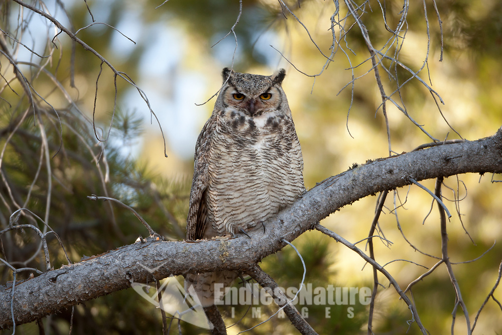 Last days of October finds this Great Horned Owl staking its territory for the winter in a small pine grove in western Wyoming.