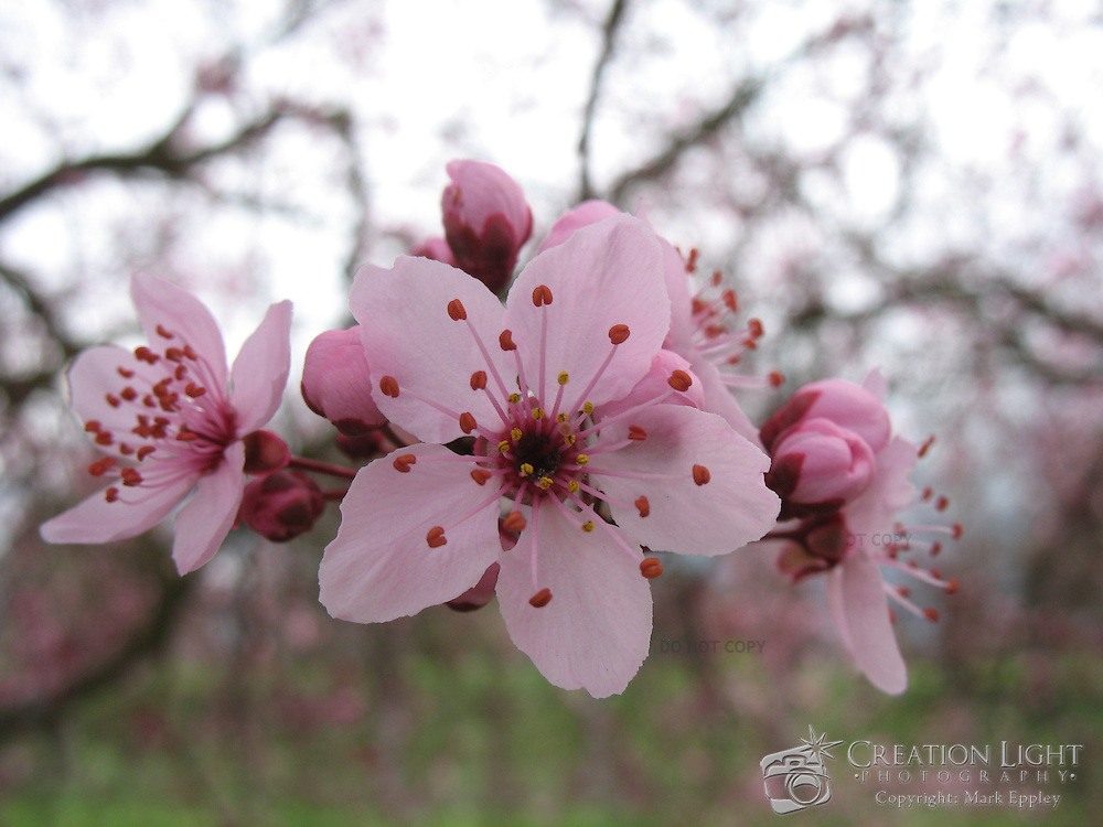 Flowering Cherry Tree Pink Blossoms Creation Light Photography