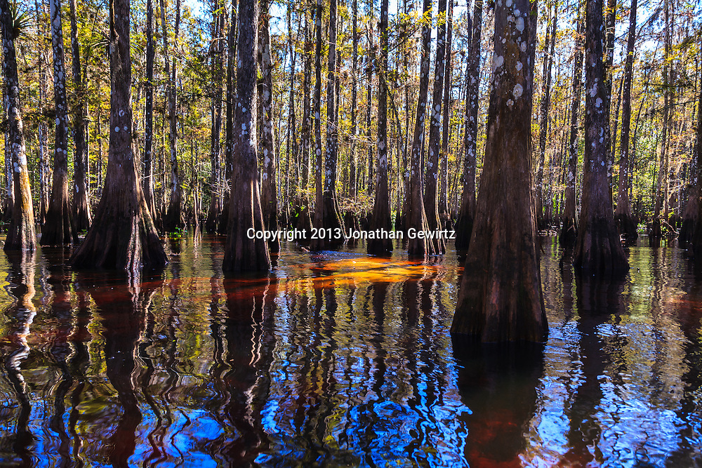 Cypress trees amid the tannin-colored waters of Fisheating Creek in Florida's Fisheating Creek Wildlife Management Area (WMA). WATERMARKS WILL NOT APPEAR ON PRINTS OR LICENSED IMAGES.