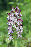 LADY ORCHID Orchis purpurea (Orchidaceae) Height to 75cm. Impressive and attractive perennial that grows in woodland and scrub, mostly on chalk soils. FLOWERS have a dark red hood and a pale pink, red-spotted lip; borne in a cylindrical spike, 10-15cm tall, with flowers opening from the bottom (Apr-Jun). FRUITS are egg-shaped. LEAVES are broad and oval, forming a basal rosette and loosely sheathing the stem. STATUS-Confined to S England and locally common only in Kent.