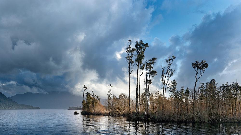 Kahikatea trees on the edge of Lake Brunner, Westland, New Zealand.