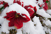 Silk poinsettia plant covered in fresh snow. PLEASE CONTACT US FOR DIGITAL DOWNLOAD AND PRICING.