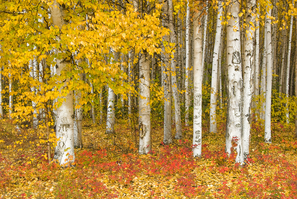 This copse of white bark birch in the fall makes for a memorable photograph.